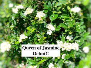 Debut Queen of Jasmine